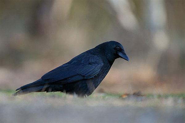 Maroko, ptačí říše a domov podivné vrány lesní